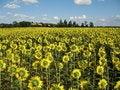 Free Sunflowers Field Stock Photos - 5931433