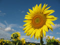Free Sunflower Closeup Royalty Free Stock Image - 5931446