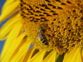 Free Sunflower And Bee Closeup Royalty Free Stock Photo - 5931455