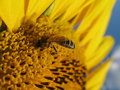 Free Sunflower And Bee Closeup Royalty Free Stock Images - 5931459