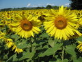 Free Sunflowers Field Stock Image - 5931561
