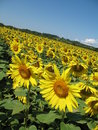 Free Sunflowers Field Royalty Free Stock Photography - 5931587