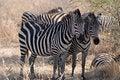 Free Two Zebras Royalty Free Stock Photos - 5934768