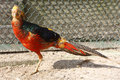 Free Pheasant Stock Images - 5937154