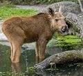 Free Elk 2 Royalty Free Stock Photos - 5939528
