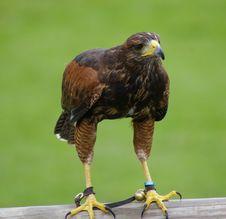 Free Hawk Stock Photos - 5930113