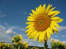 Free Sunflower Closeup Royalty Free Stock Image - 5931446