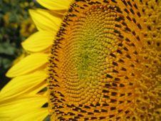 Free Sunflower Closeup Stock Photos - 5931453