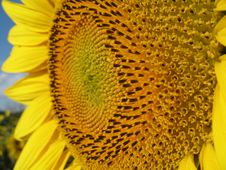 Free Sunflower Closeup Stock Photography - 5931482