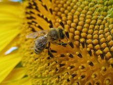 Free Sunflower And Bee Closeup Royalty Free Stock Photography - 5931487