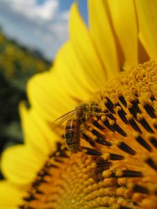 Free Sunflower And Bee Closeup Royalty Free Stock Photo - 5931495