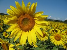 Free Sunflowers Field Royalty Free Stock Photo - 5931555