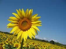 Free Sunflowers Field Royalty Free Stock Photos - 5931568