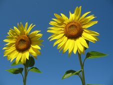 Free Sunflowers In The Blue Sky Stock Photography - 5931582