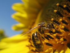 Free Sunflower With A Bee Closeup Royalty Free Stock Images - 5931599