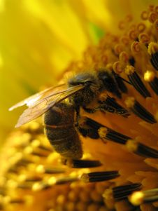 Free Sunflower With A Bee Closeup Royalty Free Stock Photo - 5931615