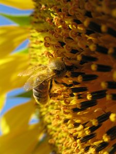 Free Sunflower With A Bee Closeup Royalty Free Stock Image - 5931626