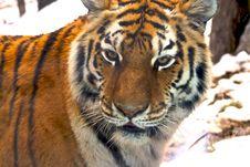 Free Amur Tiger Royalty Free Stock Photo - 5931795