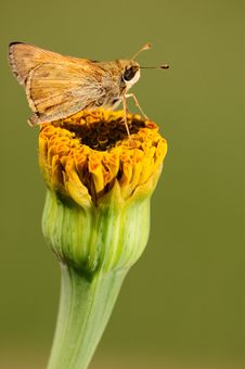 Free Butterfly On A Yellow Flower Royalty Free Stock Photography - 5932177