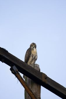 Free Red Tailed Hawk On Pole Stock Photos - 5932393