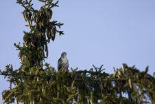 Free Red Tailed Hawk In Tree Stock Images - 5932394