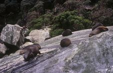 Seals On A Rock In Milford Sound Stock Photos