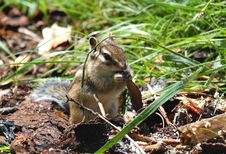 Free Chipmunk With Food Stock Images - 5932544