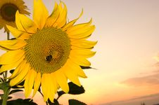 Free Sunflower On A Sunset Background Royalty Free Stock Photos - 5932838