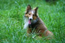 Free Shetland Sheepdog Stock Photos - 5932993