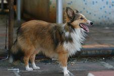 Free Shetland Sheepdog Royalty Free Stock Image - 5933226