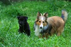 Free Shetland Sheepdog And Puppy Royalty Free Stock Image - 5933276