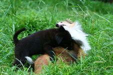 Free Shetland Sheepdog And Puppy Stock Photos - 5933303