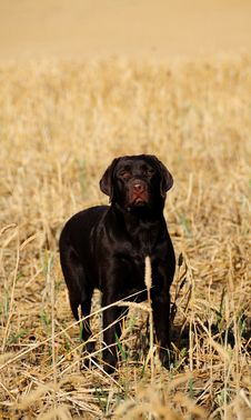 Free Chocolate Labrador Puppy,9 Months Royalty Free Stock Photos - 5934078