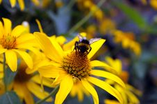 Free Bumblebee On Yellow Flower Royalty Free Stock Images - 5934179