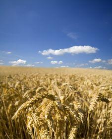 Free Summer Wheat Stock Photo - 5934260