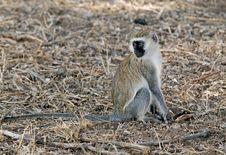 Monkey In Ngorongoro N.P. Royalty Free Stock Photos