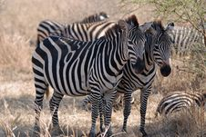 Free Two Zebras Royalty Free Stock Photos - 5934768