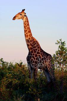Free Giraffe In The Wild Stock Photos - 5935083