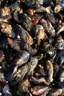 Free Mussels Royalty Free Stock Images - 5936389
