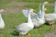 Free Goose Stock Photography - 5936802