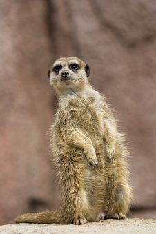 Free Meerkat On Guard Royalty Free Stock Image - 5937376