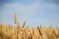 Free Wheat Crop Stock Photos - 5937573