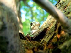 Free Tree Frog Royalty Free Stock Photography - 5938127