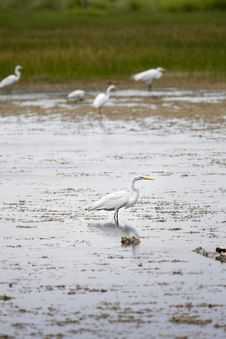 Free Egret In Wetlands Royalty Free Stock Photo - 5939155