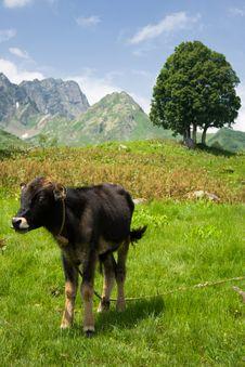 Free Bull Stock Image - 5940781