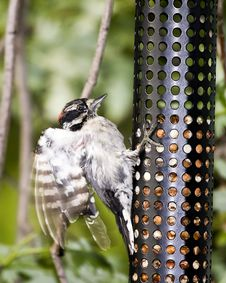 Free Downy Woodpecker Stock Images - 5941614
