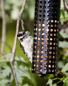 Free Downy Woodpecker Royalty Free Stock Photos - 5941658