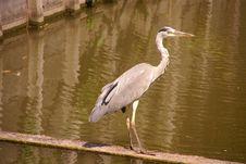 Free Grey Heron Stock Photography - 5945592