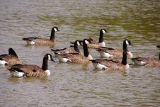 Free Goose Stock Image - 5945681