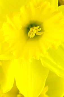 Free Daffodils Royalty Free Stock Photography - 5946027